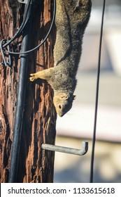 Squirrel runs amok on telephone pole
