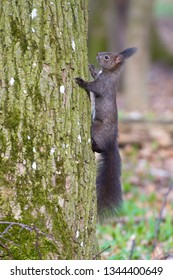 Squirrel (Sciurus vulgaris) with brown fur climbs on oak tree.