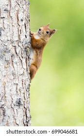 Squirrel (Sciurus vulgaris) on a spruce tree.