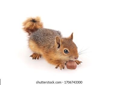 Squirrel shoot in studio on white background