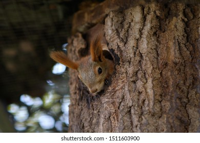 The squirrel showed its face from its nest in the tree. Squirrel looks out of the window