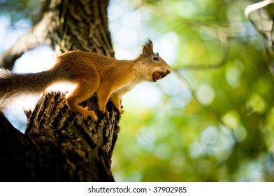 squirrel siting on branch  with a nut in his mouth