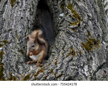 Squirrel sits in the hollow of a large tree. Squirrel house in the woods or in the Park. Red squirrel eats nuts or seeds.