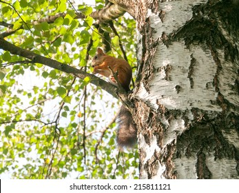 Squirrel sits on birch branch in profile and nibbles. Moscow, Russia.