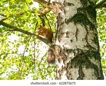 Squirrel sits on birch tree in profile