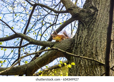 squirrel sits on tree and looks down in the spring