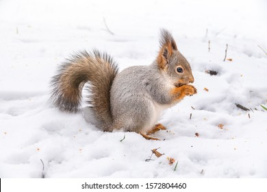 The squirrel sits on white snow with nut. Eurasian red squirrel, Sciurus vulgaris
