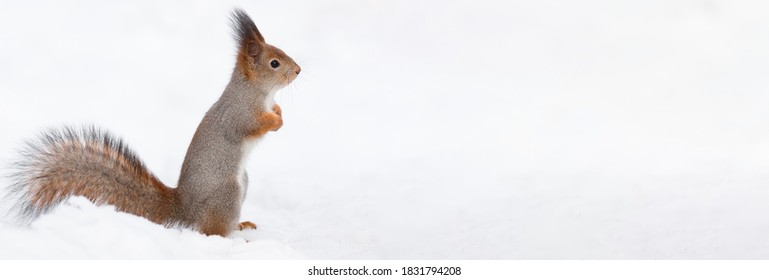 squirrel sits in the snow in the Park