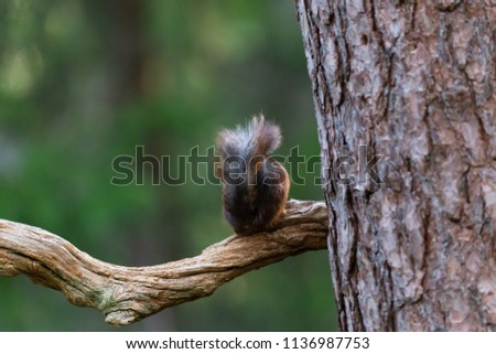 Squirrel is sitting behind on the tree