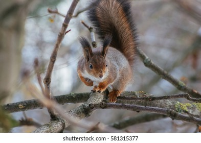 Squirrel sitting at the branch and looking at camera