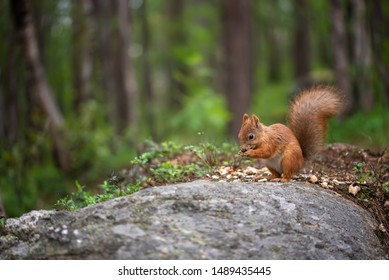 Squirrel sitting and eating on the stone in forest or park. Sciurus vulgaris.