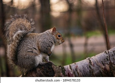 Squirrel sitting on a branch in Queen Mary's Rose Gardens in London