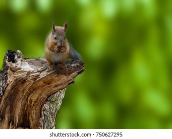 Squirrel sitting on a broken tree in the forest or in the Park. Squirrel eats nuts. The green background.