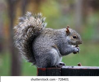 A squirrel sitting on a deck railing eating a nut