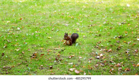 Squirrel sitting on a glade in the forest and gnawing nuts.
