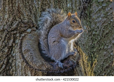 A squirrel sitting on a tree enjoying a peanut
