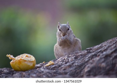 Squirrel Sitting on the tree trunk and Eating Fruit in  its natural habitat