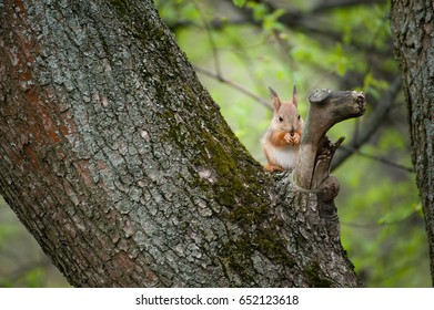 Squirrel sitting on a tree trunk and cracking