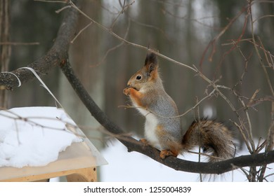 Squirrel sitting on a tree in a winter park