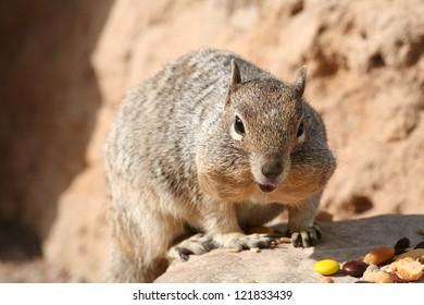 Squirrel (Spermophilus beecheyi)