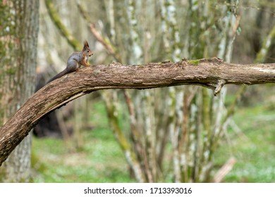 Squirrel in spring forest with flower forest bed of wood anemone and hassle trees during springtime.
