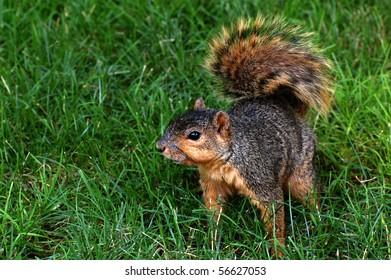 Squirrel squatting on grass, looking afar, horizontal