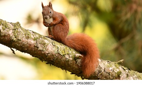 Squirrel standing on the branch of a pinetree