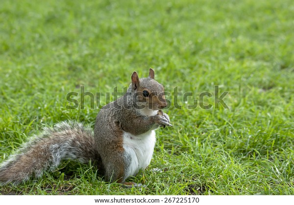squirrel-standing-on-fresh-green-600w-26