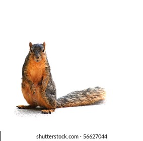 Squirrel staring at you, isolated on white, with shadow
