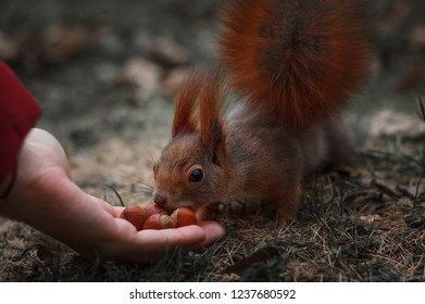 Squirrel takes the nuts from the hand, the squirrel close-up