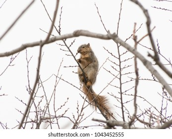 squirrel in tree eating berries 2