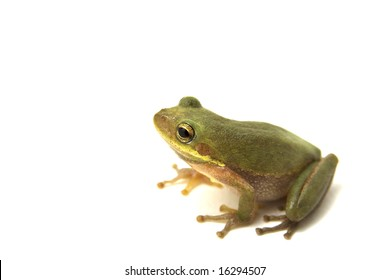 Squirrel Tree Frog (Hyla squirella) isolated on white background