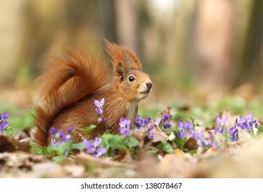 Squirrel in violets