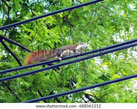 Squirrel Walking On Electric Cable Stock Photo (Edit Now