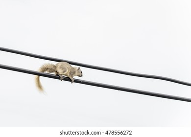 Squirrel walking on the electric wire