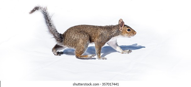 Squirrel walks like a bear on high contrast bright white background.  A cautious gait, a North American squirrel walks like a bear on high contrast black on white backdrop.