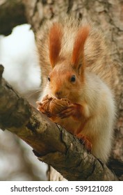 Squirrel with walnuts on a branch.