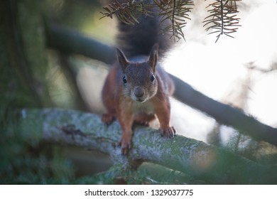 The squirrel watches the photographer and is ready to climb to the top of the tree