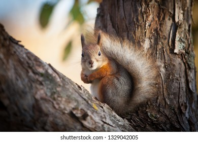 The squirrel watches the photographer from the tree and is ready to climb to the top of the tree