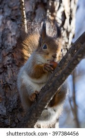 Squirrel in a winter coat sits on a branch with a nut, Russia, Moscow, park, winter