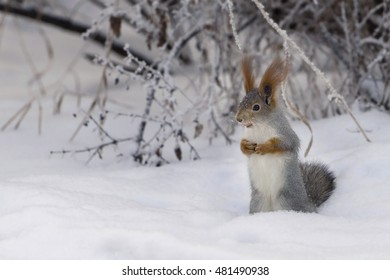 Squirrel in the winter park