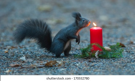 Squirrel is wondering about a candle