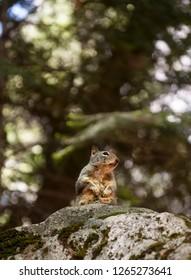 Squirrel in Yosemite Valley. California