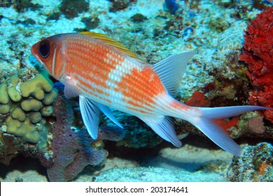 Squirrelfish (Holocentrus adscensionis) in the tropical coral reef of the caribbean sea (Mexico)