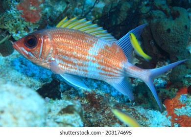 Squirrelfish (Holocentrus adscensionis) in the tropical coral reef of the caribbean sea