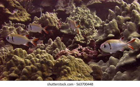Squirrelfish swims in a coral reef in Hawaii.