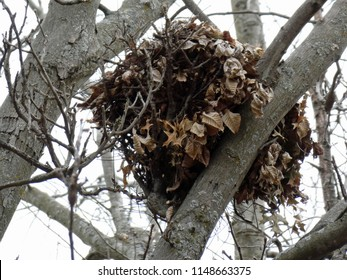 Squirrels' nest in tree during winter in Wisconsin