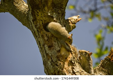 Squirrels nesting in a tree top cavity