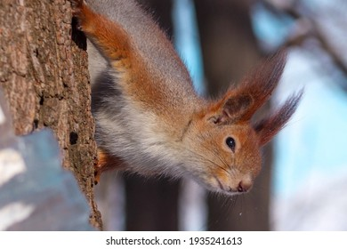 squirrels in the park. squirrels eat. protein in nature. proteins close up. beautiful squirrels. proteins and nuts. wild nature. animals in the park.