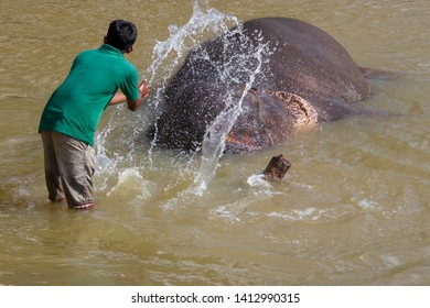 The Sri Lanka elephant is lying in the river of Pinnawala Sri Lanka. A staff is . splashing water to elephant's body. The elephants take shower in the river is very famous local attraction
